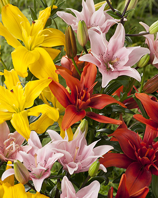 Group of lilies, mixed flowers, Lilium Kensington, Red Twin, Elodie