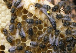 Free Honey Bee Swarm Collection