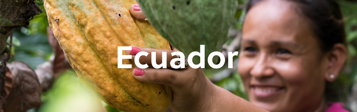 Local woman picking cacao fruit off tree in Ecuador