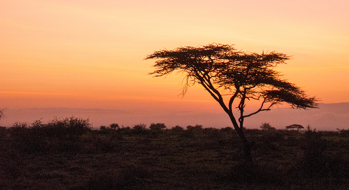 Sunset view of acacia tree in the savanna