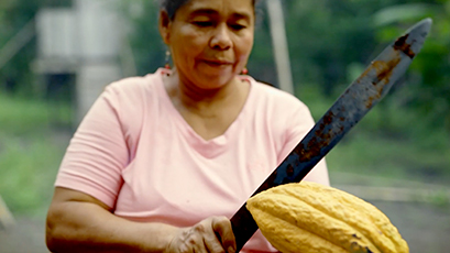 Local cacao farmer cutting cacao fruit