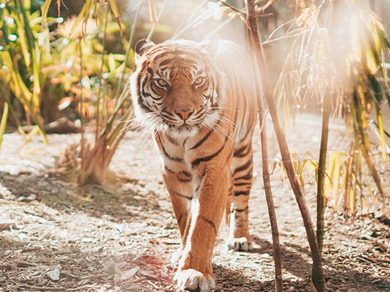 Tiger in the wilderness