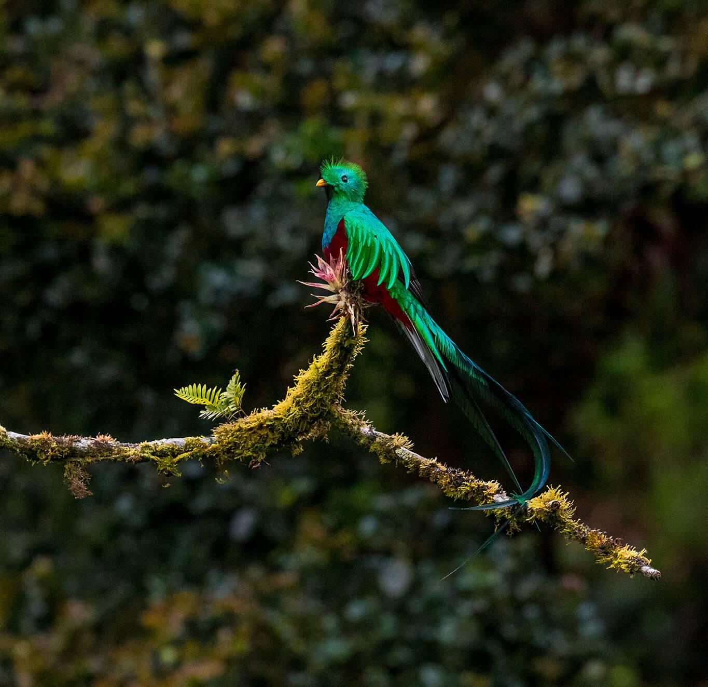 quetzal in a tree
