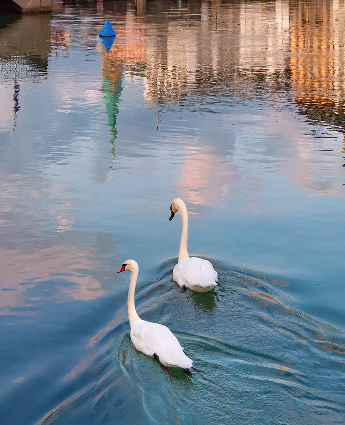 swans swimming in the limmat river