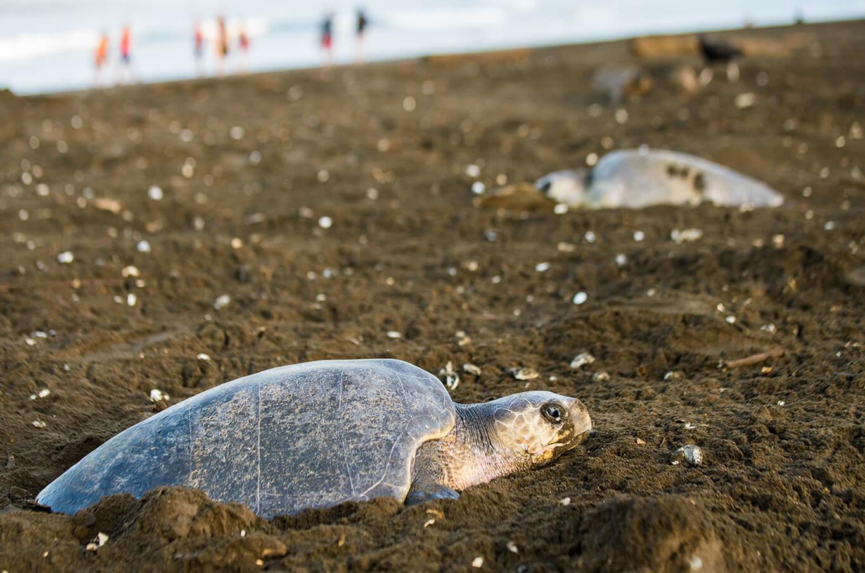 sea turtle at a beach in costa rica