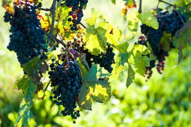 purple italian grapes handing from leafy vines