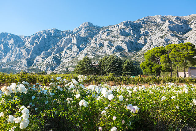 field filled with white flowers surrounded by rocky mountains in provence france