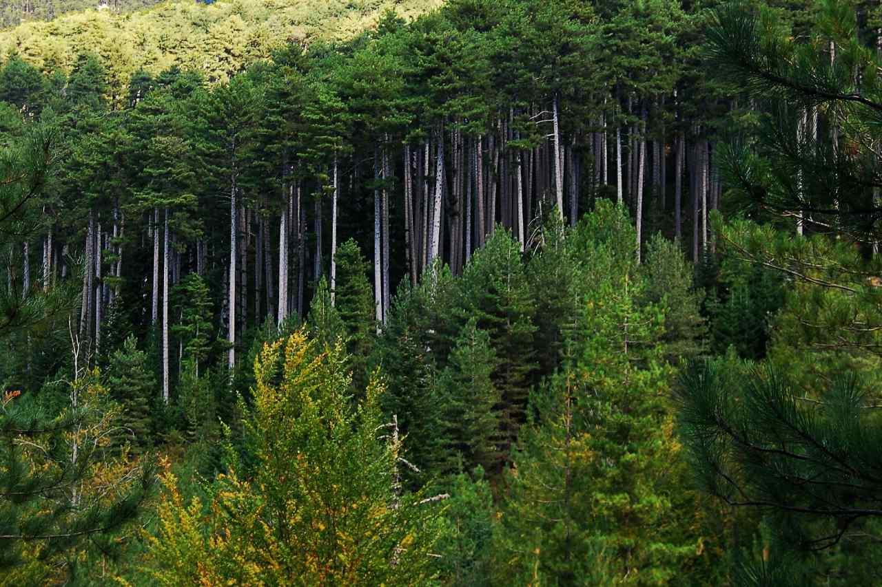 La forêt d'Aitone