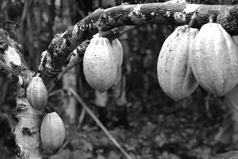 Cacao harvesting in a Central American orchard for chocolate.
