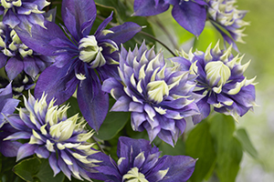 Double purple Clematis Taiga flowers, climber, climbers, shrub, botanical stock photography, image library