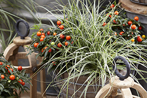 Carex Evercolor Everest, Solanum pseudocapsicum, ornamental grass, perennial, autumn container, botanical stock photography images