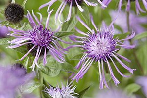 Centaurea Censation Purple Spider, close up, perennial, perennials, botanical stock photography, image library