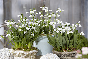 Galanthus on pots, snowdrops, early flowering, bulbs, botanical stock photography