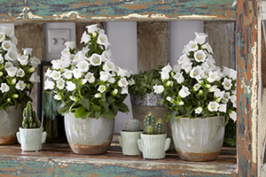 Campanula Appeal white, annual, annuals, on pots, indoor plant, botanical stock photography