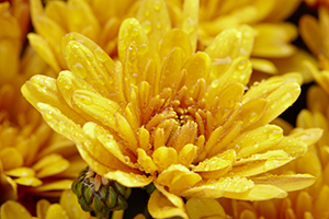 Chrysanthemum Pacino Orange, close up, perennial, perennials, autumn, flowers, botanical stock photography, image library