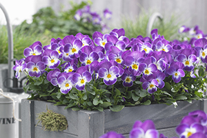 Purple pansies, viola, pansy, annual, annuals, in container, botanical stock photography, image library