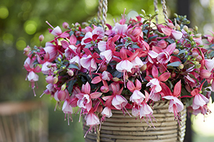 Bella Fuchsia Hilda, flowering, shrub, hanging basket, botanical stock photography