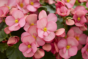 Begonia Dreams Garden MacaRose, annual, pink, close up, botanical stock photography, images