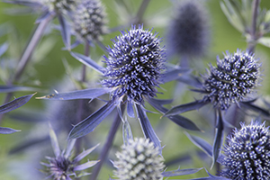 Eryngium Magical Blue Falls, close up, perennial, sea holly, botanical stock photography