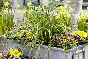 Carex Evercolor Everlime, ornamental grass, mixed spring container, pansies, primula, daffodils, annual, perennial, bulbs, botanical stock photography, image library