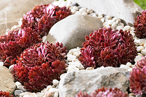 Sempervivum Coral Red, succulent, succulents, houseleek, rockery garden, perennial, drought tolerant, botanical stock photography, image library