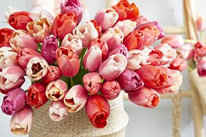 Pink and red tulip bouquet, tulips, Tulipa, flowerbulbs, cutflowers, botanical stock photography, image library