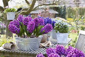 Hyacinthus Miss Saigon, hyacinths, bulbs, spring, on pots, lifestyle photography, botanical stock images