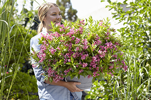 Lady holding pot with pink flowering Weigela, shrub, deciduous, summer, lifestyle images, botanical stock photography