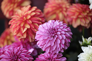 Dahlia LaBella, annual, close up, dahlias, flowers, botanical stock photography