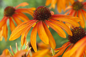 Echinacea Garden Emotion Orange, perennial, close up, coneflower, image library
