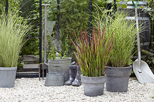 Ornamental grasses, Imperata cylindrica Red Baron, Miscanthus sinensis Morning Light, perennials, on pot, botanical stock photography, lifestyle images