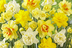 Narcissus mixed, daffodil, daffodils, yellow, bulbs, spring, flowers, botanical stock photography images