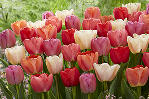 Tulipa mixed, tulip, tulips, darwin hybrids, bulbs, spring, botanical stock photography, image library