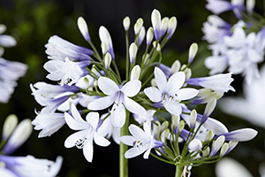 Agapanthus Twister, bulbous perennial, african lily, close up, bicolour, botanical stock photography, images