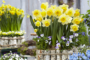 Narcissus Signor, daffodil, daffodils, bulbs on pot, spring, botanical stock photography, images