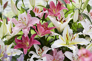 Oriental lily mix, lilies, flowers, bulbs, summer, botanical stock photography, image library