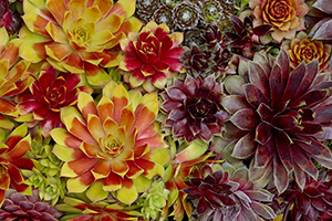 Sempervivum Chick Charms, succulent, succulents, rockery garden, colourful, botanical stock photography, image library