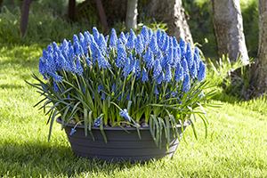 Muscari Big Smile, grape hyacinths, blue, spring container, bulbs, botanical image library