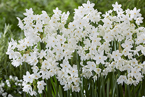 Narcissus Paperwhite, fragrant, daffodils, bulbs, spring, white, botanical stock photography images