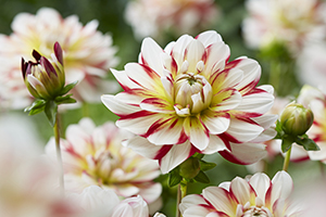 Dahlia Short Track, dahlias, bulbs, tubers, close up flowers, striped, botanical stock images
