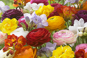 Ranunculus and Freesia mixed, colourful, flowers, fragrant, bulbs, summer, botanical stock photography, image library