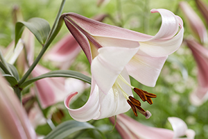 Lilium Eastern Moon, lilies, trumpet lily, close up, bulbs, botanical stock photography, image library