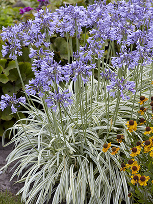 Agapanthus Silver Moon, perennial, variegated foliage, summer, blue, flowers, botanical stock photography