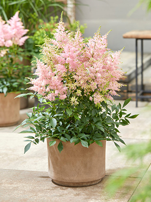 Astilbe Lovely Day, perennial, on pot, patio, botanical images