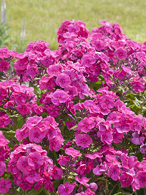 Phlox paniculata Younique Cerise, garden setting, perennial, pink, image library
