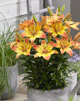 Orange and yellow lilies on pot, Lilium Happy Memories