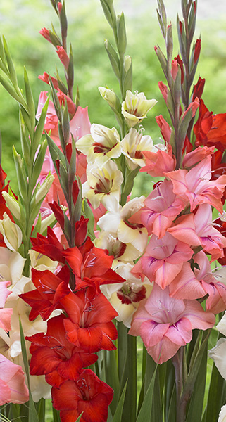 Gladiolus Bambino mix, sword lilies, summer flowering bulbs, botanical photography