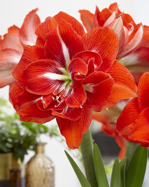 Hippeastrum, Amaryllis, bulbous plant, red flower, double-flowering, botanical image library