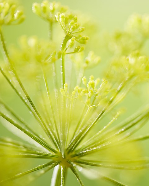 Yellow Anethum graveolens flower, herb dill