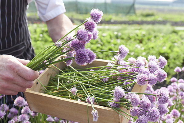 Allium schoenoprasum, harvesting chives, edible herb, action, gardening, purple flowers, hands